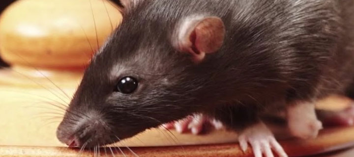 Rats Pest Control Service in London