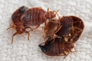 bed-bug-extermination